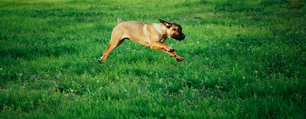 Cane Corso Whelp Puppy Running On Green Grass