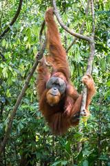 Orangutan hanging in the trees