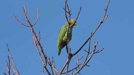 Yellow Cheek Parrot Drops Guano
