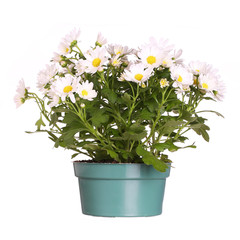 Chamomile in pot isolated in white