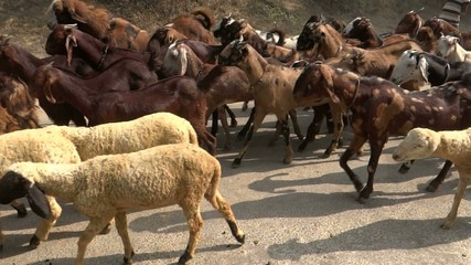 A herd of goats going to graze in a remote village.
