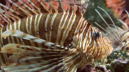 Lionfish Close Up