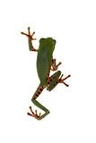 Frosch auf weißen Hintergrund