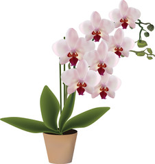 pink blossoming orchid in pot isolated on white