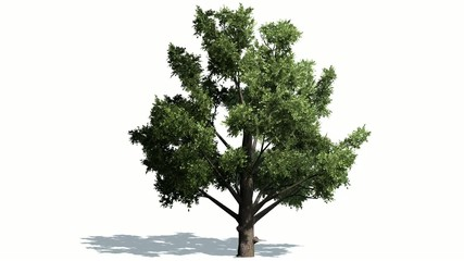 Deciduous tree in strong wind