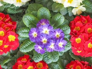 Primose aka Primula flower