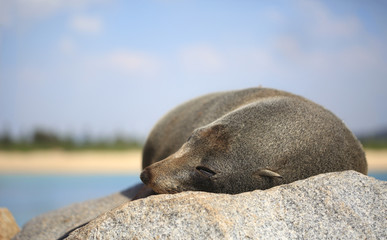 Sleepy Fur Seal