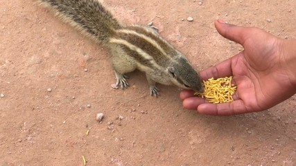 Squirrel Eating food from Hand
