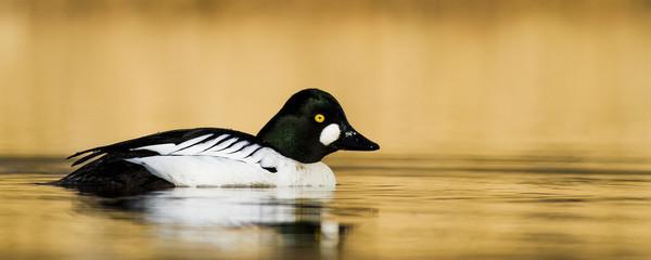 Golden eye bird in water