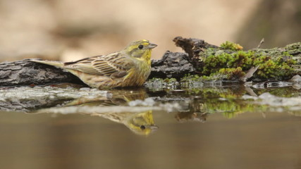 Beautiful bird Yellowhammer bathing in a forest pond