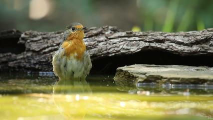 Beautiful bird European Robin bathing in a forest pond
