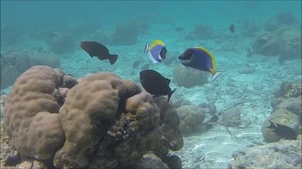 Two powder blue surgeonfish