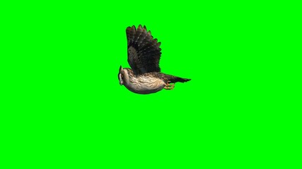 owl in gliding - 2 different views - green screen 2