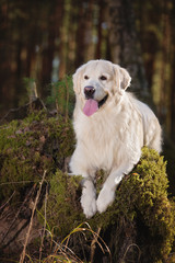 beautiful golden retriever dog posing in the forest
