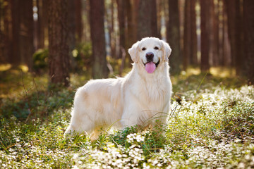 beautiful golden retriever dog in the forest