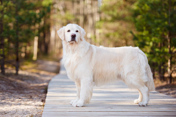 adorable golden retriever dog standing on a wooden road