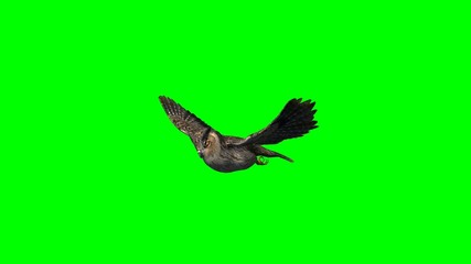 owl in gliding - 2 different views - green screen 1