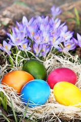 Nest mit bunten Ostereiern vor lila Krokussen