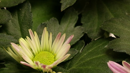 Chrysanthemum Flower Time-lapse