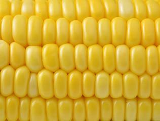 Closeup yellow sweet corn background