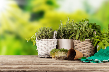 Fresh herbs in flowerpots on wooden table