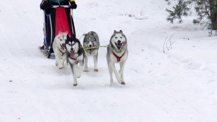 The video shows Sled Dog Race. Winter's Tale 2015