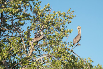 Two pelicans on tree branches. Island Margarita, Venezuela