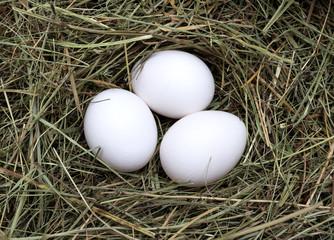 Macro shot of eggs at hay nest in chicken farm