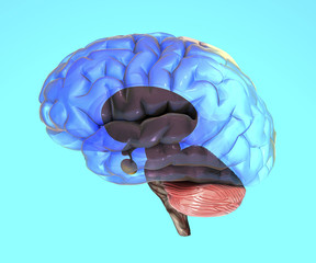 Cervello parti, organo, struttura