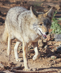 A Portrait of a Coyote, Canis latrans