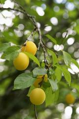 Mirabellen am Baum