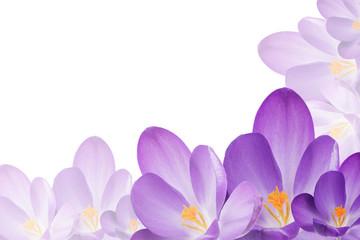 Purple crocus flowers on the white background
