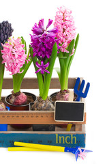 Watering cans  with hyacinth