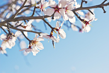 Rama de almendro floreciendo en primavera