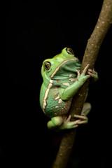 Waxy monkey frog(phyllomedusa sauvagii)