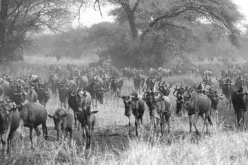 Blue wildebeests during the Great Migration in black and white.