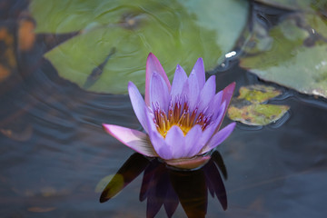 pink flower on the clear water