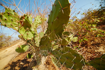 flat cactus with long thorns growing on dry land, among the dry