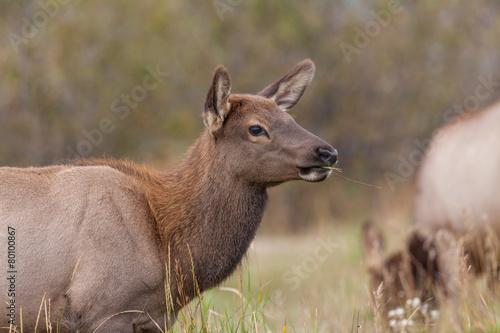 Foto op Canvas Hert Cow Elk