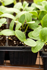Cucumber Plant Seedlings