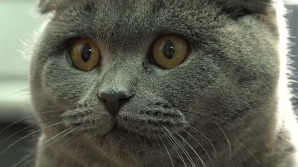 Scottish Fold Cat Closeup. 4k Ultra HD