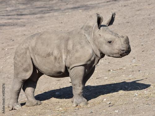 Foto op Canvas Neushoorn White Rhinoceros (Ceratotherium simum)