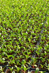 Salad plantation with rows of seedlings