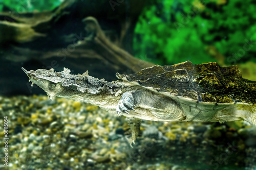 freshwater exotic turtles Matamata - 80115054