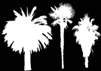 three white palm trees isolated on black