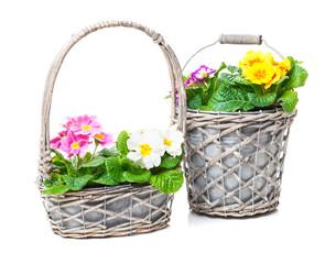 Blumenkörbchen, Primeln