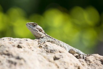 Mountain agama (Laudakia stellio) basking on a rock
