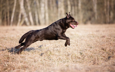 chocolate labrador retriever dog running on a field