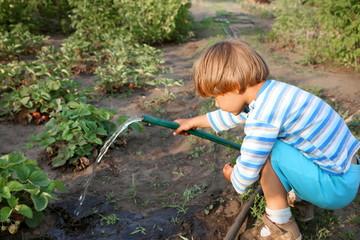Boy watering strawberries.