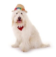 Goldendoodle Hund mit Hut